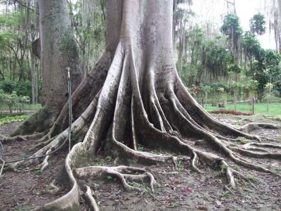 """Baum im Park """"El Gallineral"""" in San Gil"""