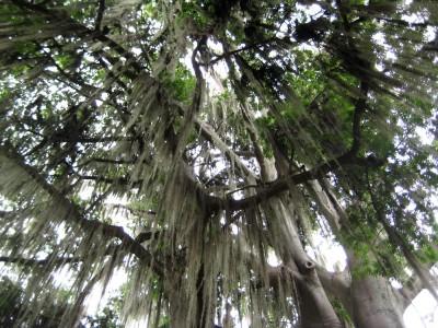 Tillandsien hängen überall von den Bäumen in San Gil