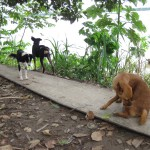 Szene mit Hunden am Ufer des Amazonas in Peru bei Santa Rosa